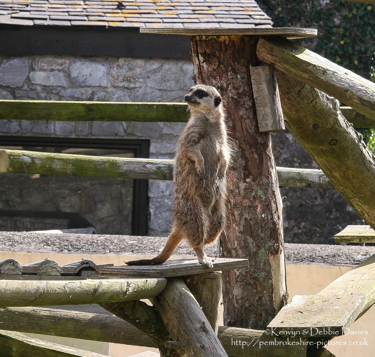 A rather tubby meerkat at Manor House Leisure Park