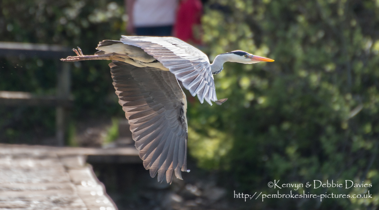 Heron in flight  at Stackpole Estate, Pembrokeshire