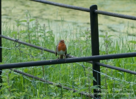 A robin at Dinefwr Country Park