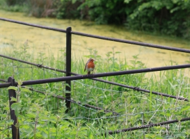 Robin at Dinefwr