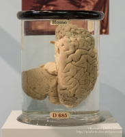 Bit of a shock wondering around old computer exhibits and coming across half a brain...<br/><br/>This half go Charles Babbage's brain is the right sagittal section with cerebellum. Babbage's son Henry donated if for research to the Hunterian Museum at the Royal College of Surgeons in England. It was dissected by Sir Victor Hosley in 1907.<br/><br/>More from the Fuji X100S www.flickr.com/photos/kendavies/sets/72157633171675942