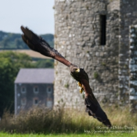 Pembrokeshire Falconry at Carew Castle, 2016