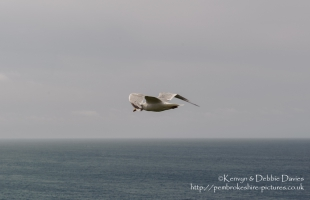 Seagull in flight at Abereiddy in North Pembrokeshire