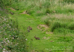 Rabbits at West Angle Bay