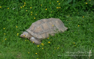 Sulcata (African-spurred) Tortoise is the largest on the African mainland.  They are native to the Northern parts of Africa; Senegal, Niger, Chad and Ethiopia.