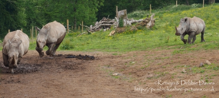 Zamba & Jamba, two of the White Rhinoceroses at Manor Park Wildlife Park, Pembr...