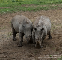Zamba and Jamba, the larger two were the first rhinoceroses in Pembrokeshire in...