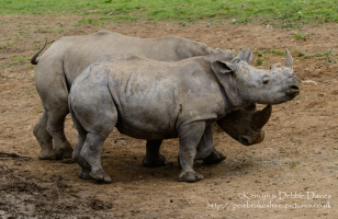Zamba and Jamba, the larger two were the first rhinoceroses in Pembrokeshire in 40,000 years. They have recently been joined by Zuberi (the smallest). As of this photo they are 2.5 and 3.5 years old and will be fully grown at 6 years.