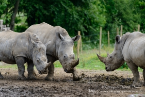Zamba, Jamba and Zuberi the rhinoceroses at Manor Park Wildlife Park, Pembrokes...