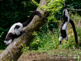 Black-and-white Ruffed Lemur at Manor House Wildlife Park