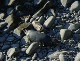 A seal family in Abereiddy