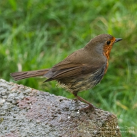A Robin in the garden