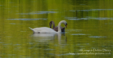 Swans at Stackpole Estate, Pembrokeshire