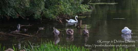Swans, ducks and a Heron at Stackpole.