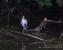 A Heron at Stackpole, Pembrokeshire