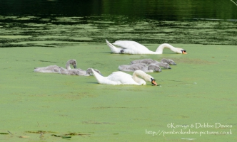 Swans and signets at Stackpole Estate, Pembrokeshire