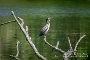 Cormorant at Stackpole Estate, Pembrokeshire