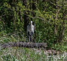 Heron at Stackpole Estate, Pembrokeshire