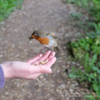 Feeding a robin at Bosherston Lily Ponds