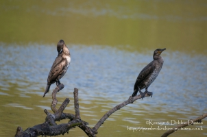 A pair of Cormorant at Stackpole Estate, Pembrokeshire