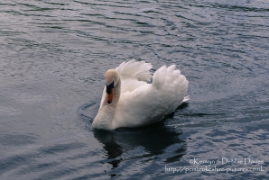 Paddling swan at Stackpole Estate, Pembrokeshire