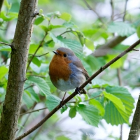 Robin at Bosherston Lily Ponds