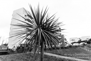 Palm tree in Tenby
